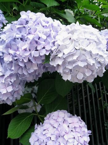 20100626ajisai.jpg